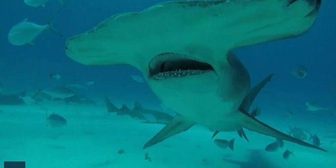 Ermöglicht Hammermässige Taucher Taucher Hammerhai