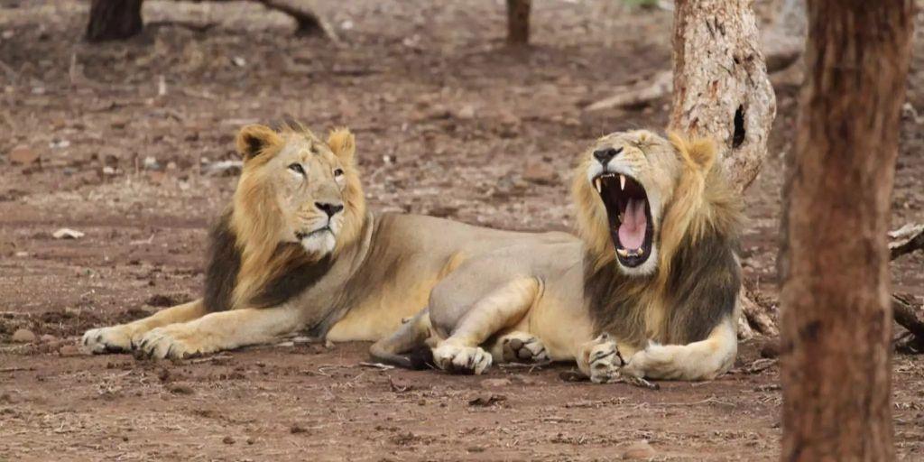 Löwen In Indien