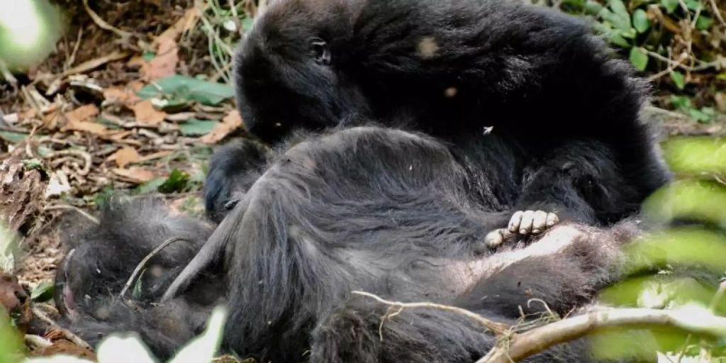 Umgang mit dem Tod: Gorillas zeigen besonderes Verhalten