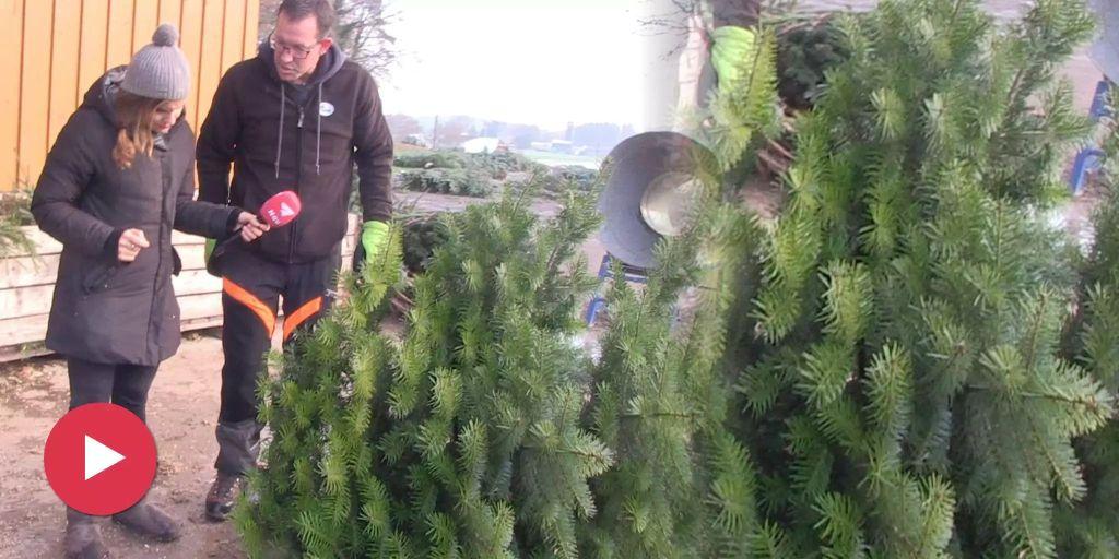 Weihnachtsbaum Fällen.Weihnachtsbaum Fällen Wird Neuer Hipster Trend