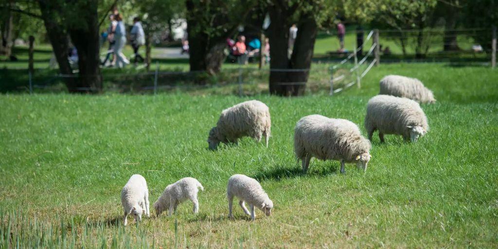 Schafe Als Rasenmäher