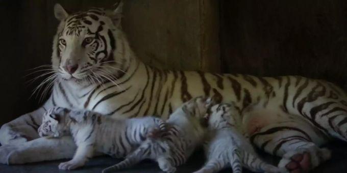 Drei Weisse Tiger Sind In Mexikanischem Zoo Zur Welt Gekommen